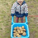 Dzien ziemniaka Muszelki (2)
